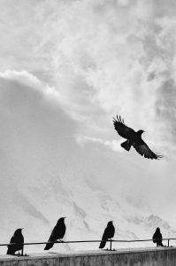 a black and white picture of a soaring crow silhouetted against a white mountaintop, while 4 other crows look on attentively from the guardrail of the overlook. A murder of crows in a meditation for power and protection
