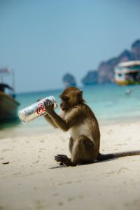 Monkey (Mind) on the beach in Thailand with a stolen can of soda.